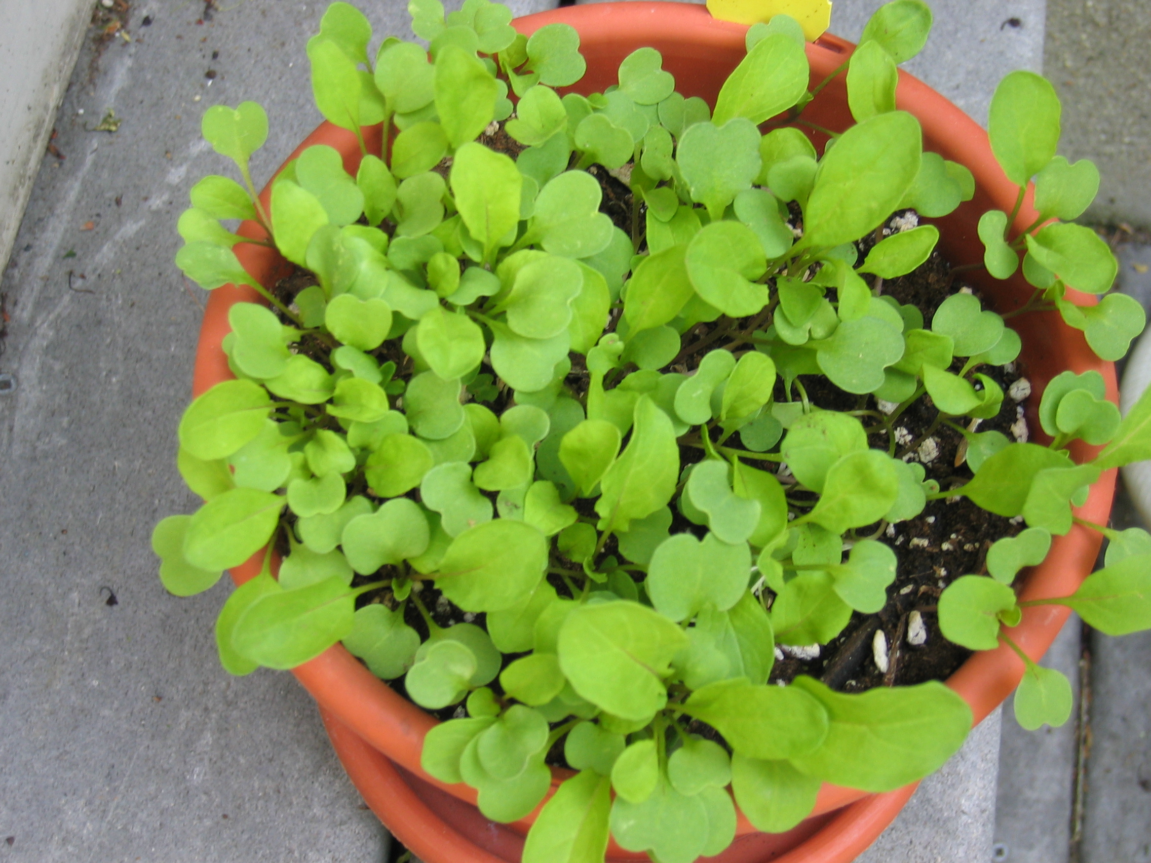 Greens like arugula are very easy to grow in containers. (Dave Epstein)